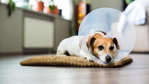 Desinficering af hunds sår hjemme