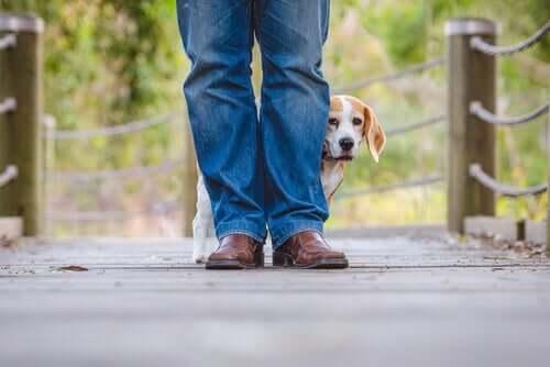 Beagle med støjfobi, der står på en bro bag en mands ben
