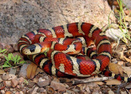 Slange er eksempel på ikke-giftige dyr, der efterligner aposematisme hos dyr, som er giftige