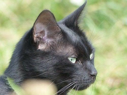 Hvad bestemmer kattes pelsfarve?