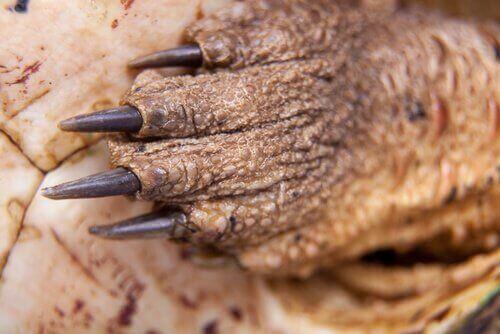 mata mata skildpaddens klør