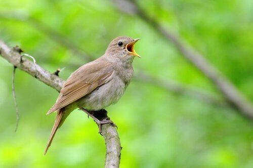 Nattergalen er blandt de smukkeste sangfugle
