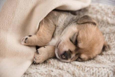 En hundehvalp sover
