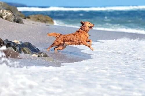 En hund springer og hopper på strand