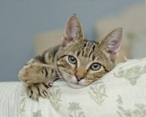 Kattens kløer hviler på møbel