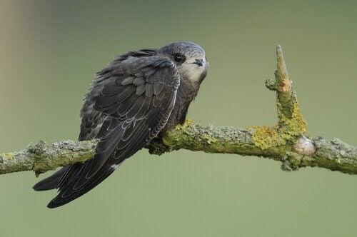 Mød fuglen, der sover flyvende