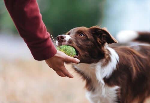 Råd, hvis din hund er besidderisk omkring legetøj