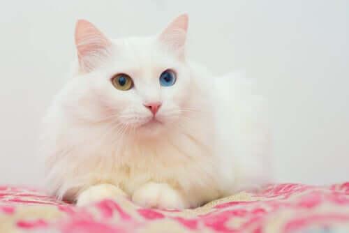 Langhårede katteracer: Angora