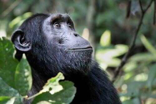 Chimpanse sidder i et træ