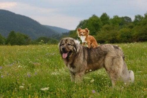 Den store hund har en lille hund på ryggen