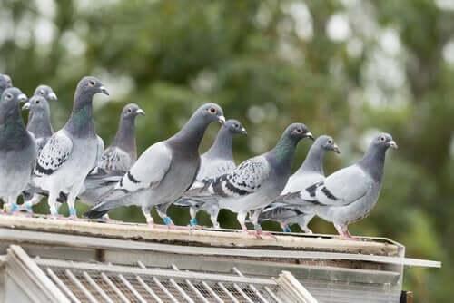 Et taggitter kan brugs til at skræmme duer væk