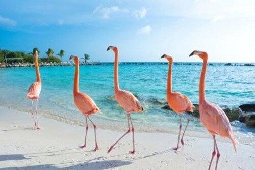 Flamingoer går i flok på stranden