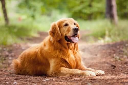 en golden retriever hviler sig i skov