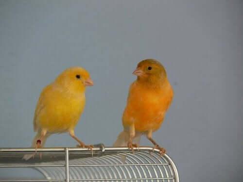 To kanariefugle sidder på et fuglebur