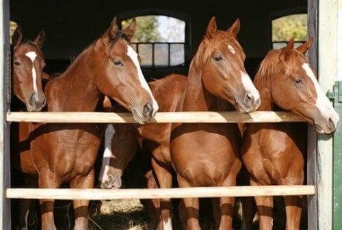 Heste står sammen i stalden