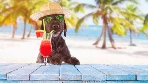 Hunde i varmen med drink og solhat