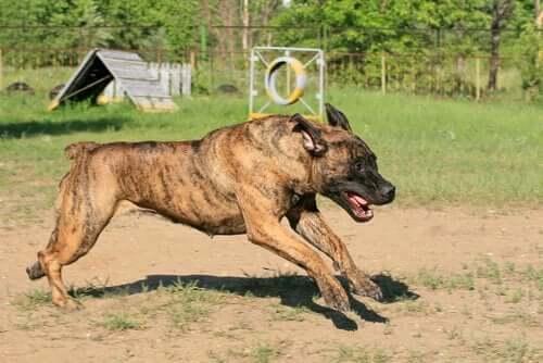 Ikke-anerkendte hunderacer ifølge FCI