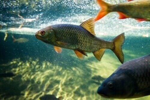 Karper og havedamsfisk: Sådan passer du dem