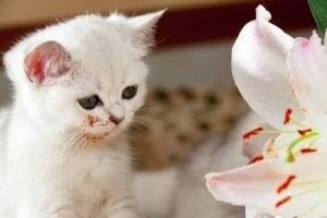 Næsten alle slags liljer kan være farlige for dit kæledyr, specielt katte
