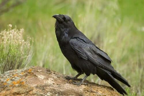 Den amerikanske ravn kan efterligne lyden af andre fugle