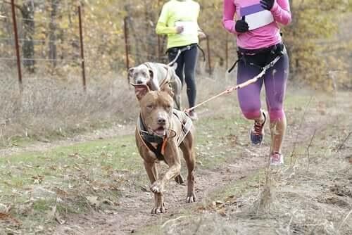 Dette eksempel på sportsgrene for hunde kræver god fysik af både hund og ejer