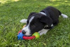 lille hund med legetøj i have