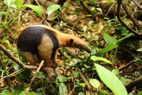 en myresluger på jagt efter føde