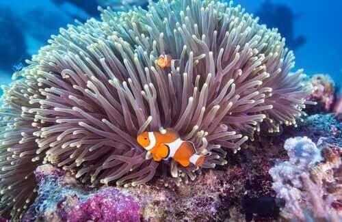Blandt dyrelivet ved great barrier reef kan man blandt andet støde på klovnfisk