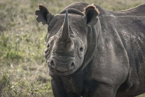 5 truede dyrearter, der er ved at uddø