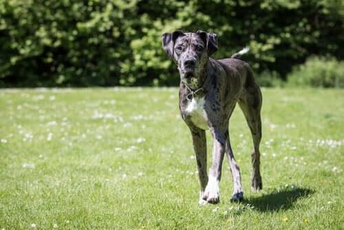 Stor hund løber på græs