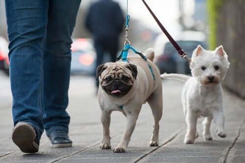 tag hundene med ud at gå hver dag