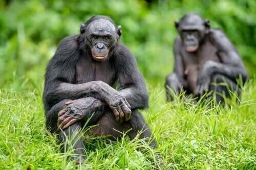 Bonoboerne var de primater fanget på kamera, der reagerede stærkest overfor kamerafælderne