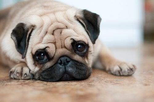 4 råd til pleje af hunde med rynker