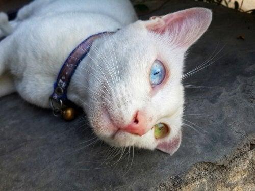 Denne eksotiske katterace stammer fra Thailand. Den kaldes også for Diamond Eye kat pga. dens forskelligfarvede øjne