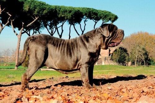 Den napolitanske mastiff er en af de mest kendte molosser hunderacer