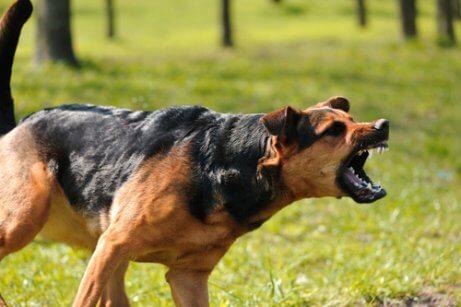 Skræmt hund på græs