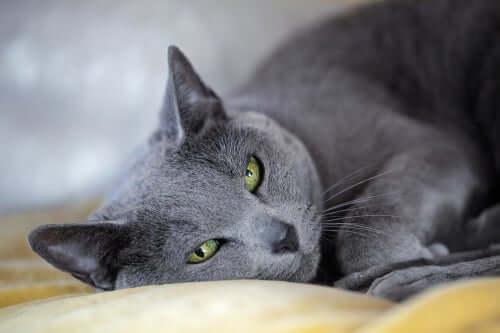 Korthårede katte: Russian Blue