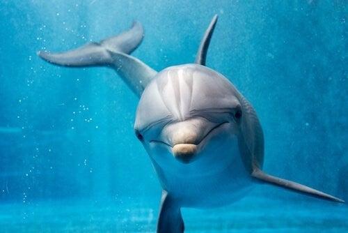 Er delfinens adfærd næsten menneskelig?