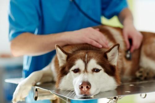 Hund er til dyrlægetjek