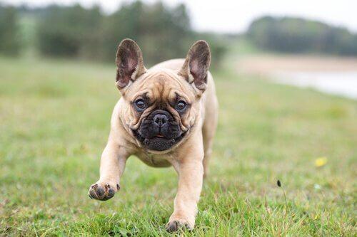 Franske bulldogs tilhører også gruppen af molosser hunde. De er populære på grund af deres lille størrelse og venlige sind