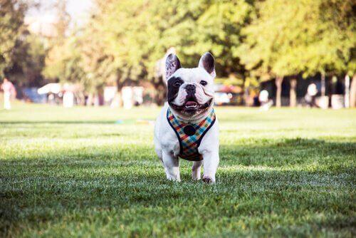 Franske bulldogs er gode kæledyr, på grund af deres charmerende og livlige personlighed