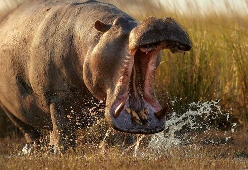 Flodhest med åben mund