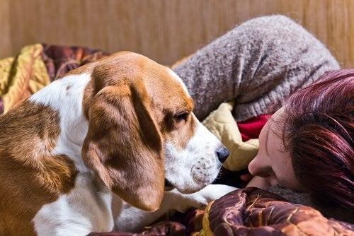 Hund ligger og kigger på sin ejer