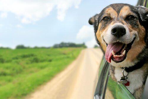 Ferie med hund illustreres af hund med hoved ud af bilrude