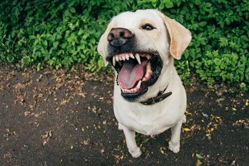 En hund bider ud mod kamera og illustrerer behovet for forsikring til en hund