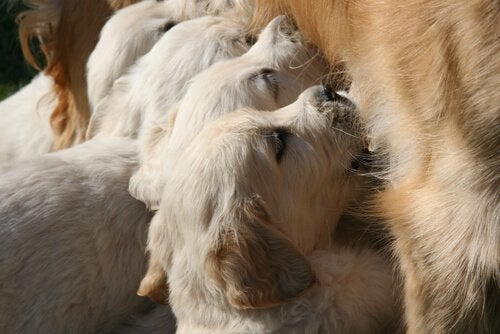 hvalpe dier ved deres mor