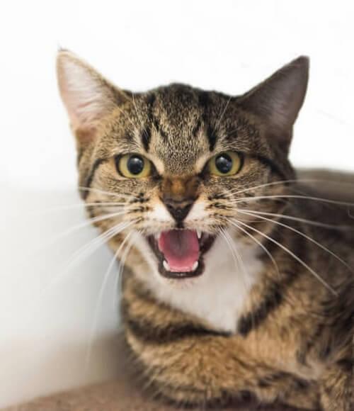 En kat vil hvæse, hvis den er sur