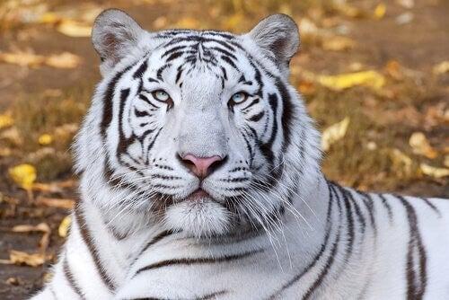 Den hvide tiger inspirerer refleksion