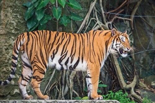 Den indokinesiske tiger lever mange steder i Asien
