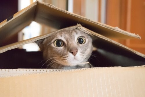 Kat gemmer sig i papkasse